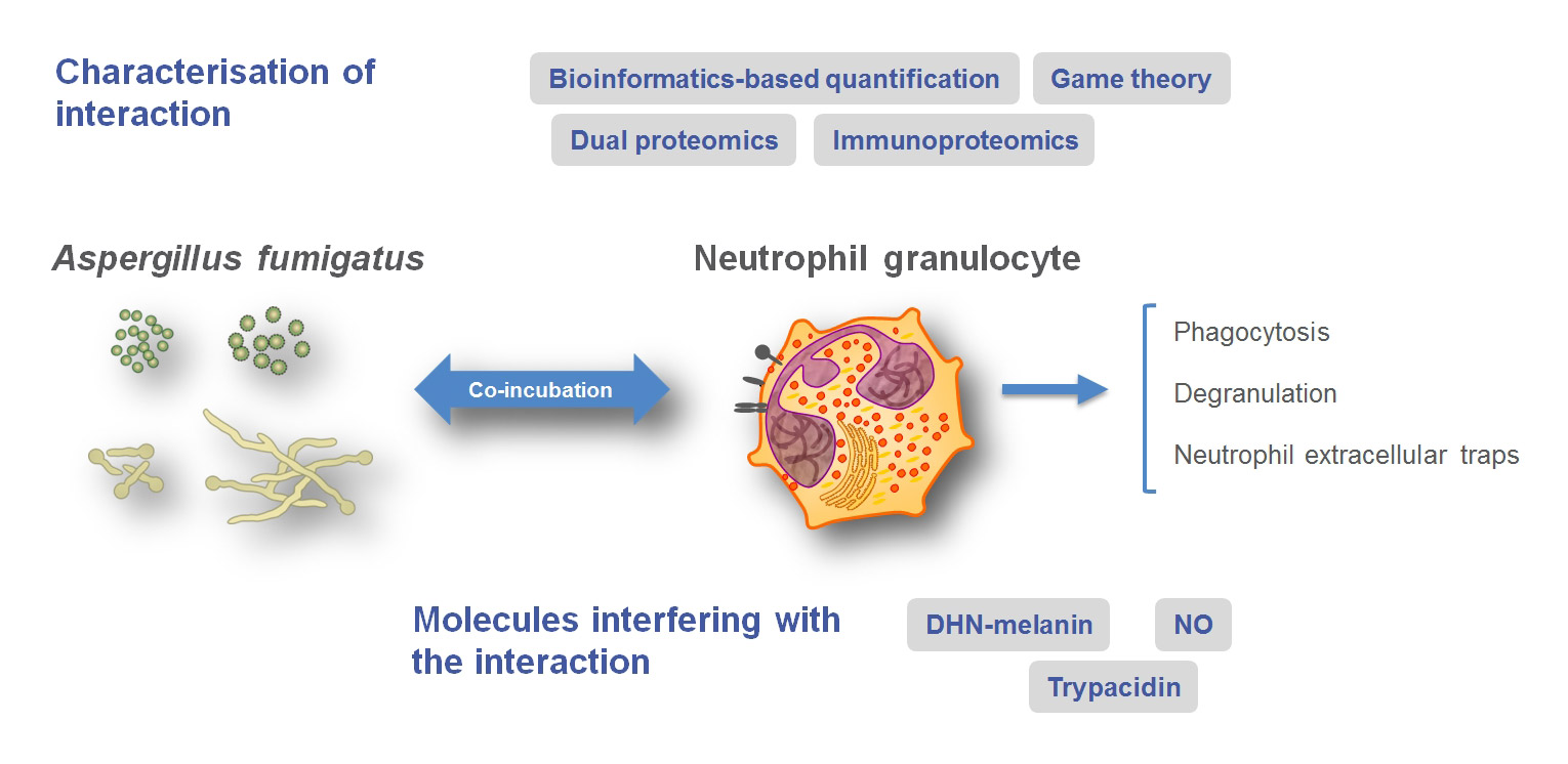 Summary of research to characterize the interaction of different A. fumigatus morphotypes with neutrophilic granulocytes