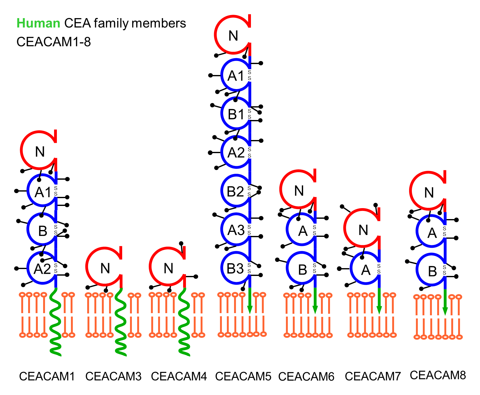 The human CEACAM receptor family. Schematic depiction of important members of the human carcinoembryonic antigen-related cell adhesion molecules.
